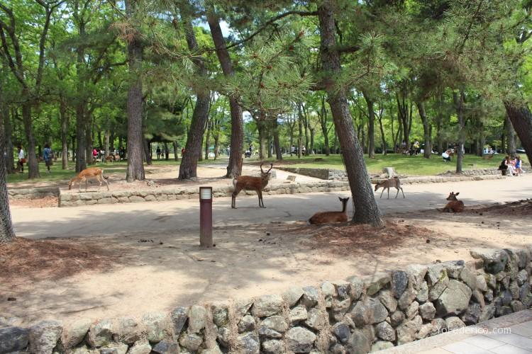 Ciervos de Nara, Japon